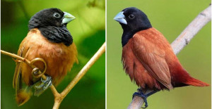 Grey Beak, Jet Black Head, And Rufous And Chestnut Brown Plumage, This Tiny Fluffy Passerine Bird Is An Attention