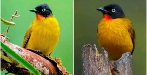 Meet Flame-throated Bulbul, A Captivating Bird With Golden Yellow, Fiery Orange, Midnight Black and Olive Green Plumage