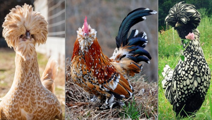 The Chicken Breeds for Your Backyard Flock - 1