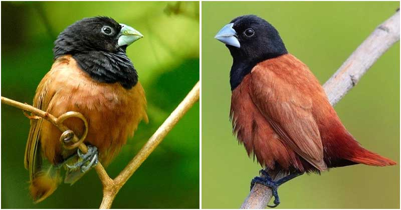 Grey Beak, Jet Black Head, And Rufous And Chestnut Brown Plumage, This Tiny Fluffy Passerine Bird Is An Attention - 1