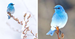 Beautiful Mountain Bluebirds Perfectly Live Up To Their Name