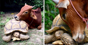 Disabled Baby Cow And Giant Tortoise Become The Best Friends Ever