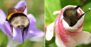 Tired Bumblebees Who Fell Asleep Inside Flowers With Pollen On Their Butts