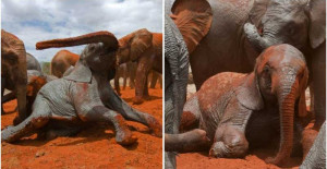 Cheerful Baby Elephants Play In Mud, Covering Themselves In Red Dust