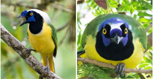 Noisy And Curious, The Green Jay Is The Gossipy Neighbor That Makes Our Life Way More Interesting