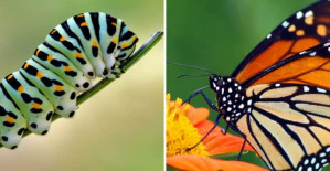 This Video Shows Exactly How A Caterpillar Becomes A Butterfly – It Will Blow Your Mind